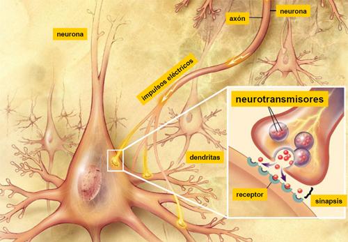 Principales Neurotransmisores Y Sus Funciones En El Organismo Cabal Psicólogos